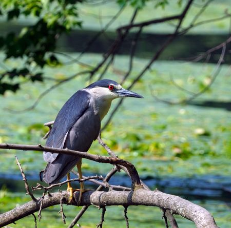 gray herons: Black-crowned Night Heron stands above the water on a branch and looks out fish Stock Photo