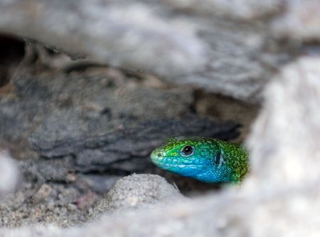 a lizard hid in the burrow under ground