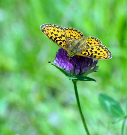 butterfly sits on a clover and feeds on nectar