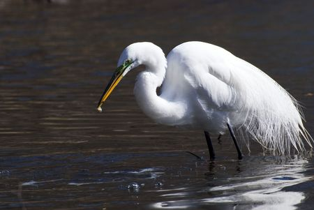 great white egret catch fish in a water Stock Photo - 3299159