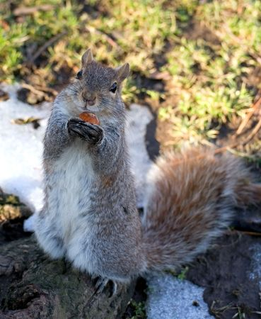 earthnut: a squirrel on back paws stands at tree  and hugs an earth-nut by front paws