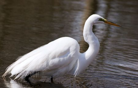 Great white egret walks on a shallow lake in search of standing gaping fish Stock Photo - 3315638