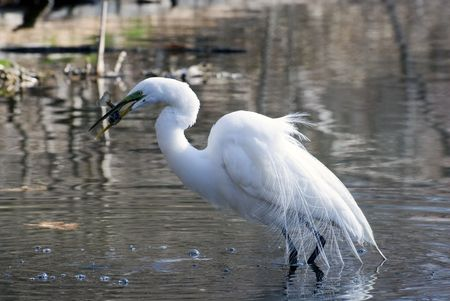 great white egret got fish in a lake Stock Photo - 3315652