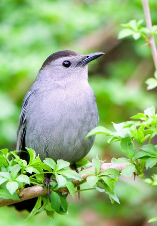 dumetella: a catbird rests on green branch and looking around