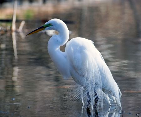 great white egret looking for fish in a water Stock Photo - 3349612