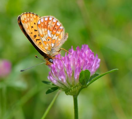 butterfly sits on a clover collects nectar