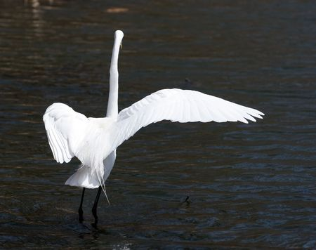 Great white egret on a shallow lake Stock Photo - 3349609