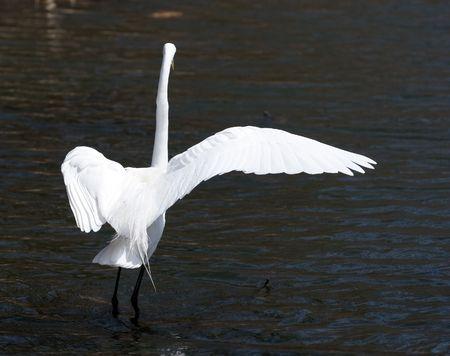 Great white egret on a shallow lake Stock Photo - 3349609