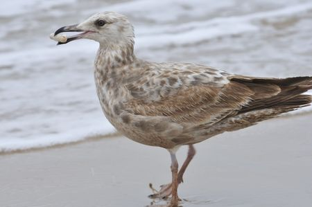 gull found some thing and holds it in bill thinking that it is a meal