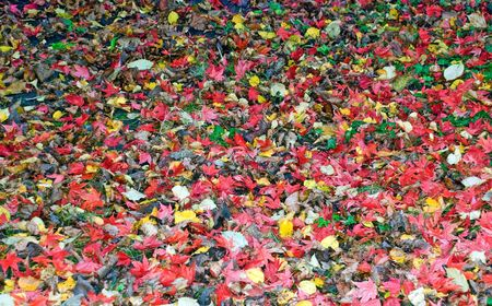 an autumn carpet from varicoloured leaves covers a ground