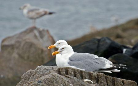 pair of gulls sit on a stone at ashore ocean Banco de Imagens