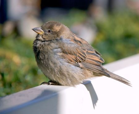 The full small sparrow sits on white bench digesting a dinner Stock Photo