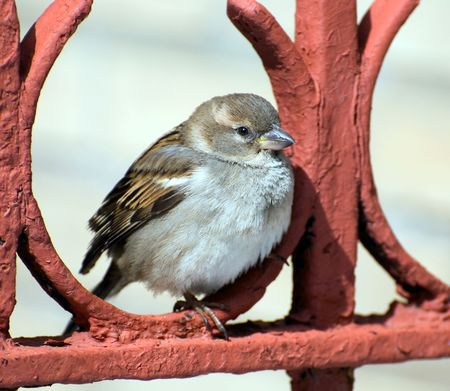 The chubby sparrow sits on a red fencing having rest  Stock Photo