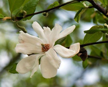 white magnolia on a natural background with green leaves