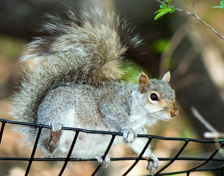 Curious squirrel gets through a fencing and sees the photographer Imagens