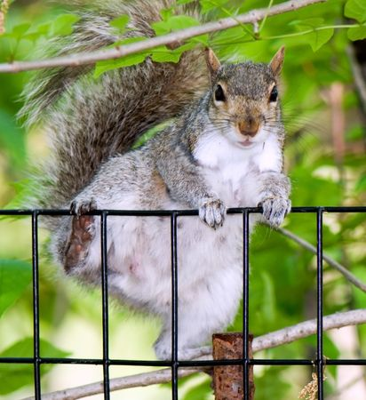 Curious squirrel gets through a fencing and sees the photographer Stock Photo