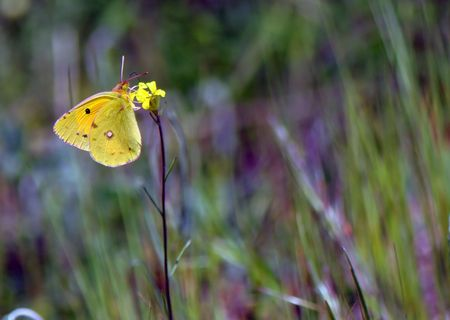 The butterfly sits on a yellow flower and collects nectar Stock Photo