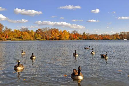 これらの池について満員であるガチョウと晴れた日に秋