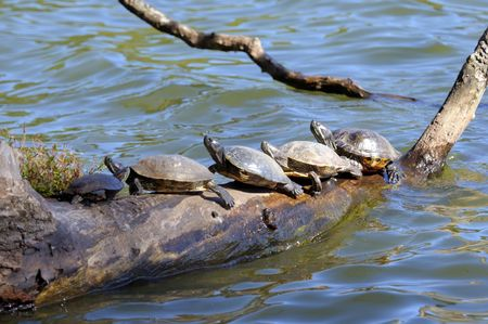 cooter: Suwanee River Cooter Turtles crowded on a log in New York Prospect Park