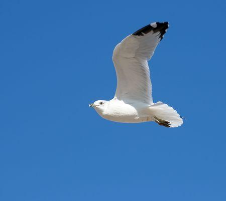 sea gull in an air against the blue sky Stock Photo - 3938672