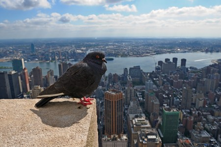 Pigeon on a skyscraper roof in New York photo