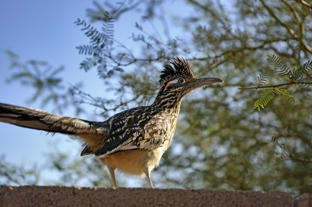 Greater roadrunner on rock wall in search of food