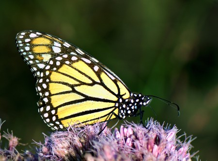 Portrait of Monarch butterfly feeding outside on pink flower Stock Photo