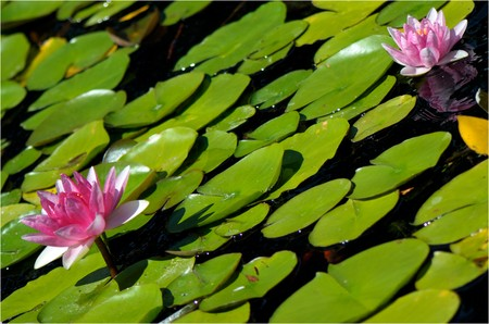 two pink water-lily and its reflection in the dark water
