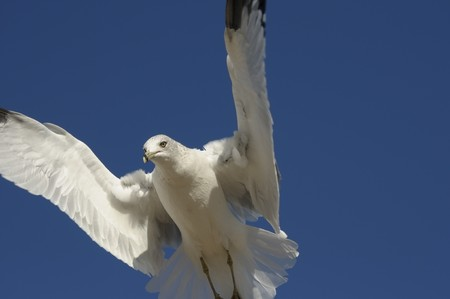 Gull in flight against the blue sky