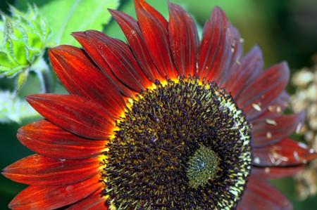 spring. details of beautiful red Sunflower petals closeup