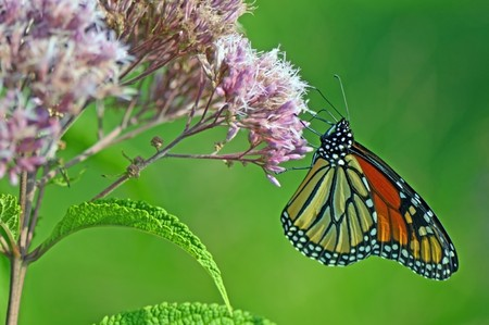 monarch butterflies on the flower is collecting nectar