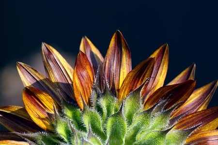 spring. Details of beautiful colorful Sunflower petals close-up