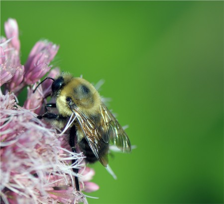 details of a small bee on the pink flower