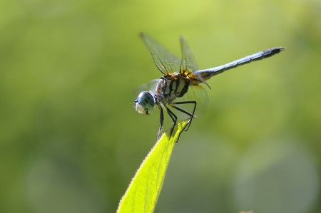 close up of a dragon-fly on the green leaf