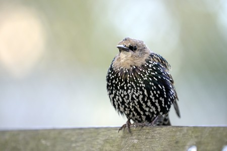 bird starling in autumn sitting on the bench