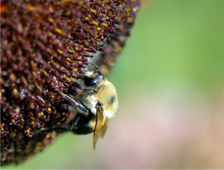 Close up shot of Bumblebee on the flower collecting nectar