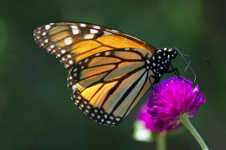Close-up butterfly on the pink flower is collection nectar Stock Photo