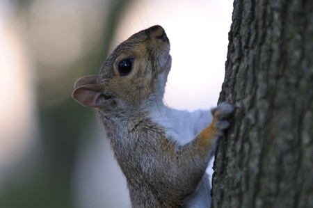 squirrel climbs on a tree and looking at the photographer