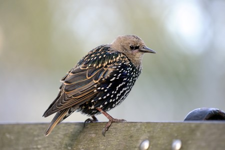Bird Starling in autumn sits on the bench