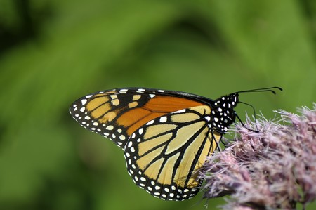 The butterfly sits on a pink flower and collects nectar