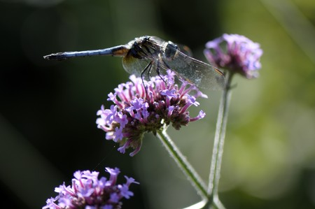 The dragonfly has a rest on a pink flower Stock Photo