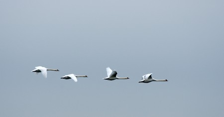 White swans fly in single file in a southern direction