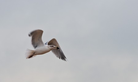a flying seagull holds a cockleshell in a beak