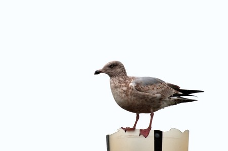 seagull sitting on broken lamp isolated over white background including path Stock Photo
