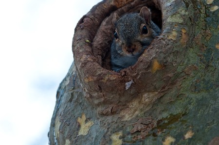 The squirrel early in the morning looks out of the hollow