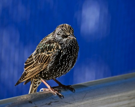 starling on a pole. Photo was taken in Brooklyn in Spring 2007