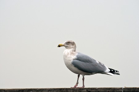 The seagull with colored eyes stands having reflected ashore Stock Photo