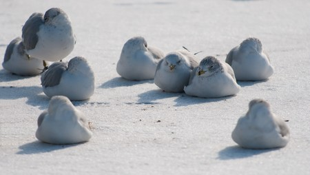 Group of gulls on cold white snow thoughtful about a spring Stock Photo
