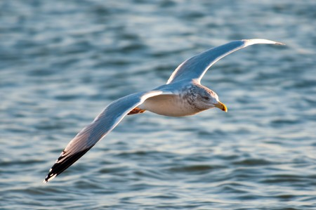 A gull flies above waves looking for fish in water