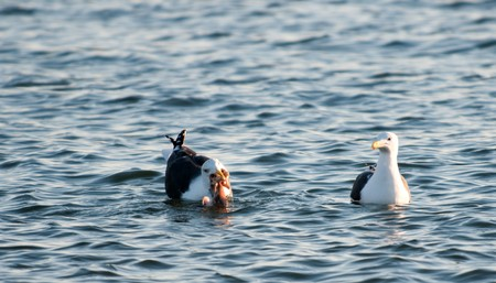 The seagull has caught and eats fish, other seagull protects and waits for the share of extraction Stock Photo